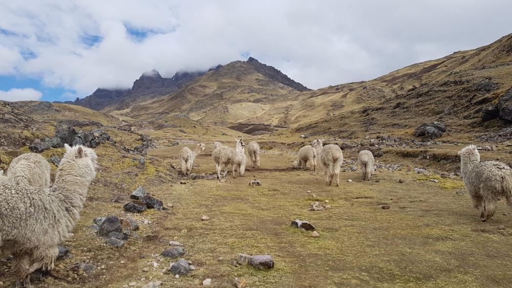 5 Llamas 1