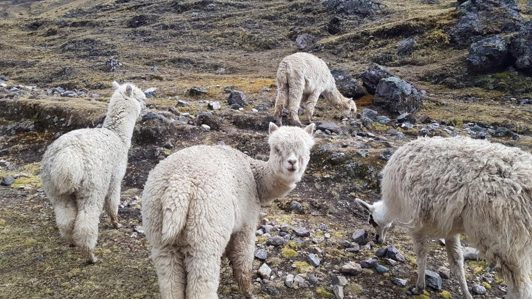6 Llamas 2