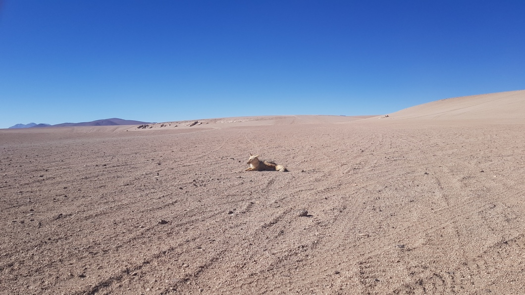 32 desert fox